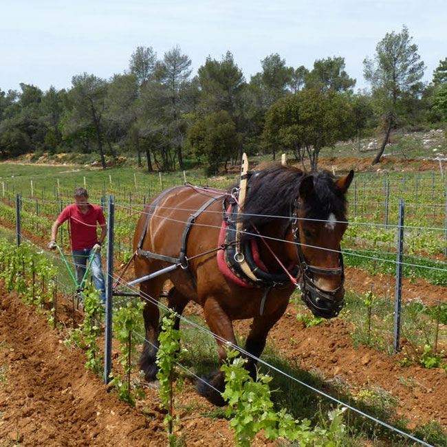 Vodka the Horse in the Vineyard
